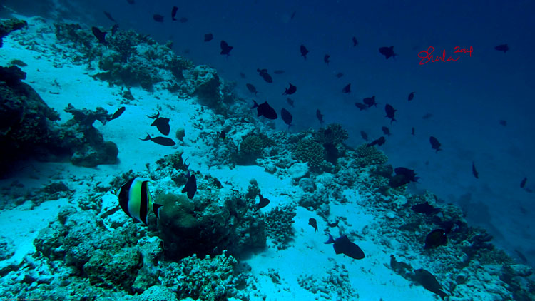 Bannerfish at Coral Reef