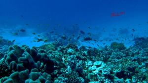 Coral Reef Maldives