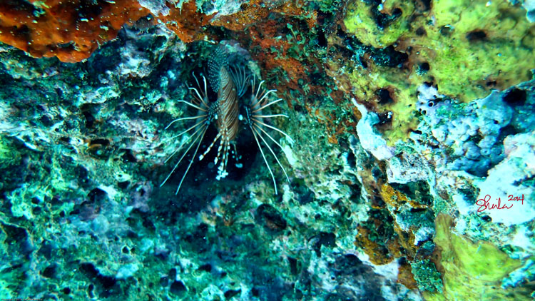 Lion Fish in Coral Reef