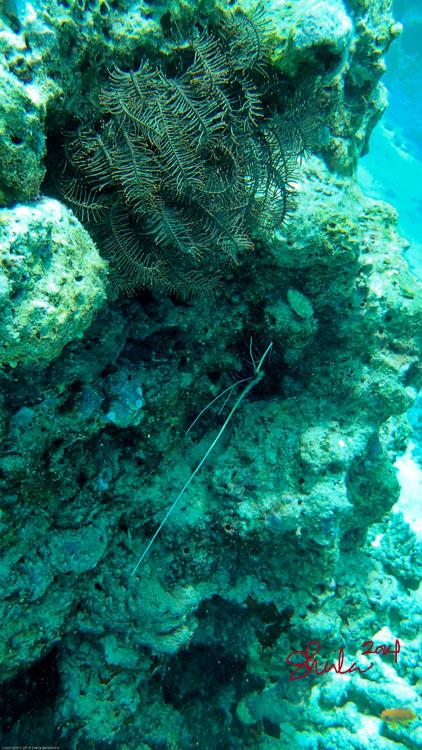 Lobster in Coral Reef